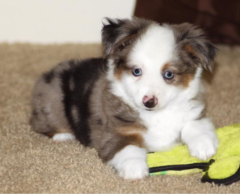 Blue Horizon Toy Australian Shepherds