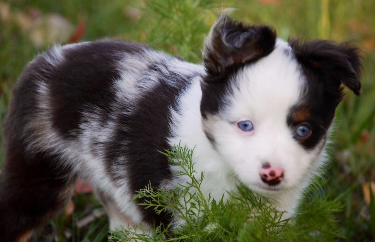 Toy australian shepherd full grown