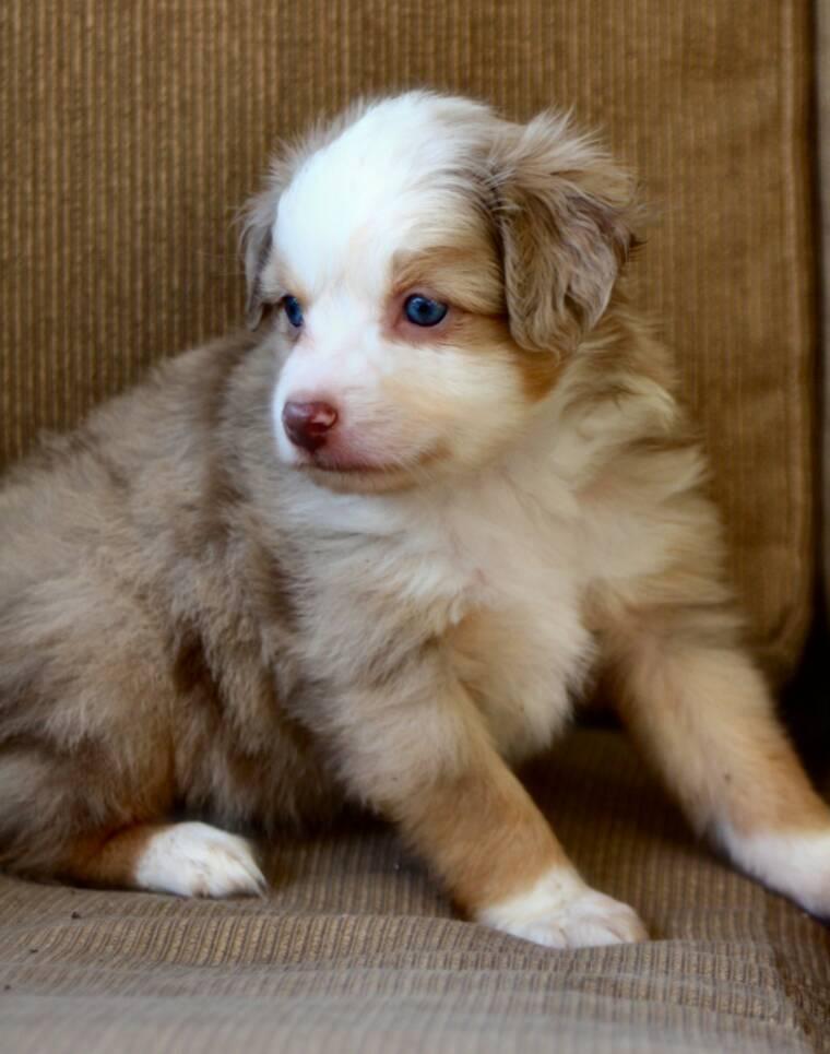 Australian Shepherd Puppies Brown | www.pixshark.com ...